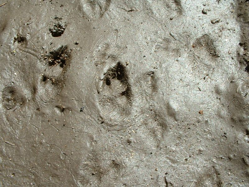 Skunk and Raccoon Footprints http://banglatv.ca/banglamusic/striped-skunk-tracks