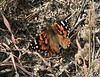 Painted Lady (Vanessa cardui), Lakeview Mountains, 14 Mar 2009