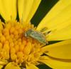 Brokenbacked bug (<i>Taylorilygus apicalis</i>) on Euryops, Lakeview Mountains, 21 Dec 2008.  About 4 mm long.