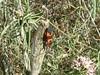 Large Milkweed Bug (Oncopeltus fasciatus) on fringed milkvine, Lakeview Mountains, 6 June 2004