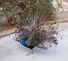 Indian Blue Peafowl (Pavo cristatus), 27 Jan 2007
