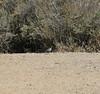 California Quail (<i>Callipepla californica</i>)  Point Mugu state Park 9 Oct 2011