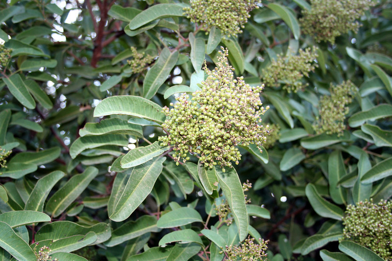 Laurel sumac (<i>Malosma laurina</i>), Point Mugu State Park, 9 Oct 2011