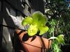 Paphiopedilum orchid, Balboa Park, San Diego, 25 Nov 2011