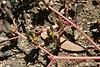 Common Purslane (Portulaca oleracea), Homeland,21 Sep 2008