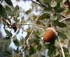 Canyon live oak (Quercus chrysolepis)<br /> San Jacinto Mountains, Suicide Rock Trail<br /> 27 Nov 2010