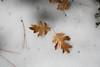 Leaves of California black oak (Quercus kelloggii)<br /> San Jacinto Mountains, Deer Springs Trail<br /> 27 Nov 2010
