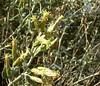 California Brickellbush (Brickellia californica), Lakeview Mountains, 10 Oct 2004