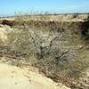 Honey mesquite (<i>Prosopis glandulosa</i>).  Athel Tamarisk (<i>Tamarix aphylla</i>) in background.