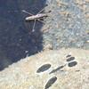 Water Strider, Prob. <i>Limnoporus notabilis</i>;  Trinity River, 13 Aug 2009